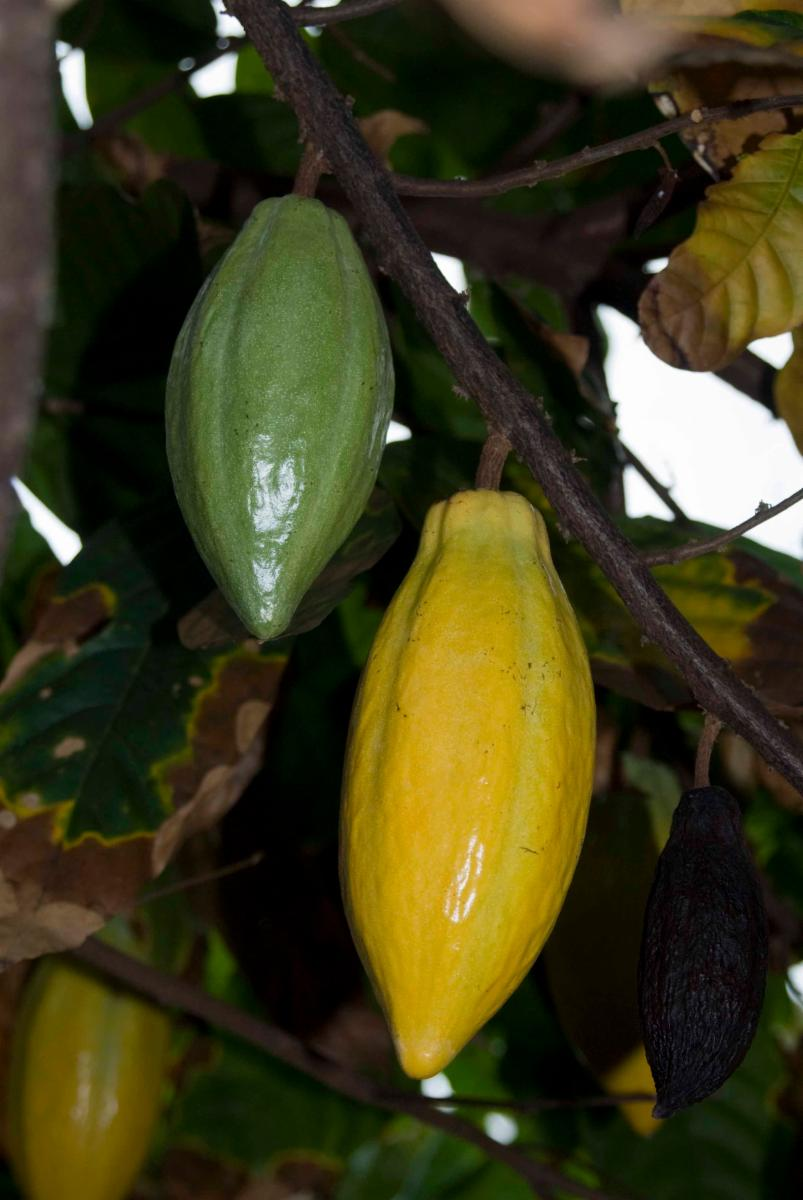 Theobroma cacao l plants of the world online kew science images sciox Image collections