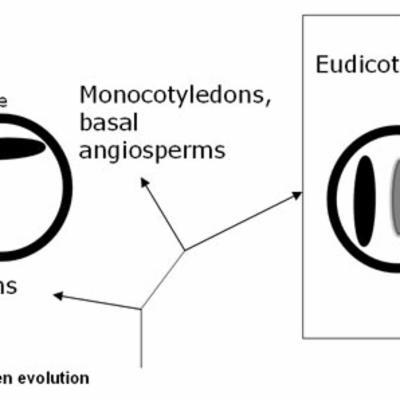 Nelumbo pollen diagram