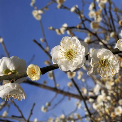 Prunus mume (mume)