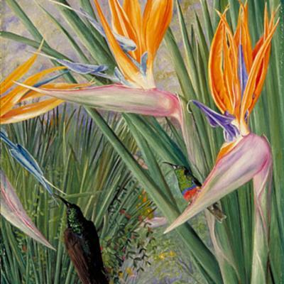 Strelitzia reginae msb