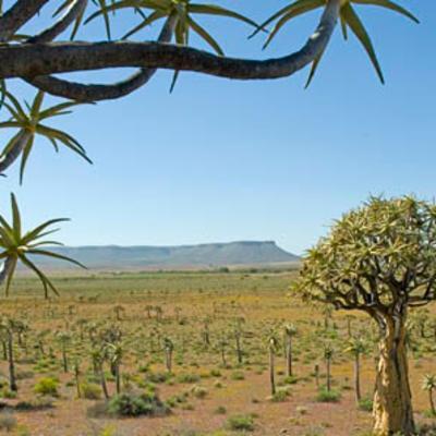 <em>Aloidendron dichotoma</em> landscape