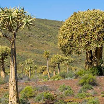 <em>Aloidendron dichotoma</em>