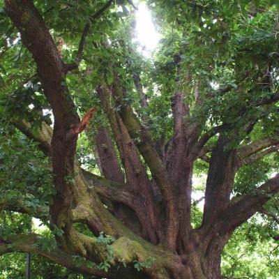 Quercus x turneri