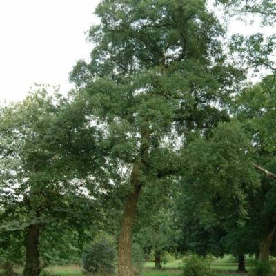 Quercus suber at Kew