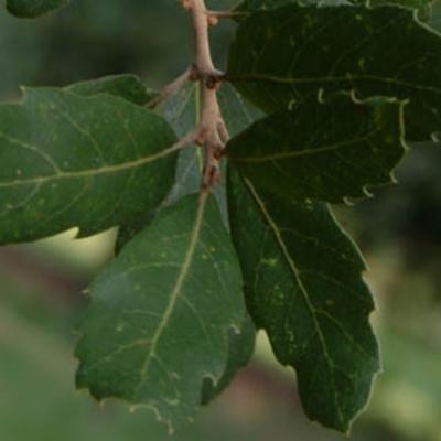 Quercus suber leaves