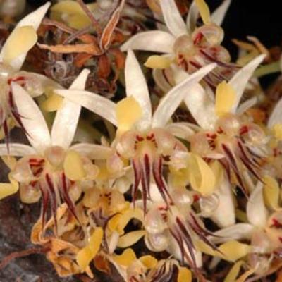Theobroma cacao flowers