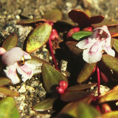 Lindernia intrepida flowers