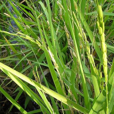 Oryza sativa (rice)