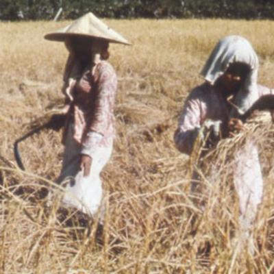 Oryza sativa harvesting