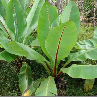 Ensete ventricosum (Ethiopian banana)
