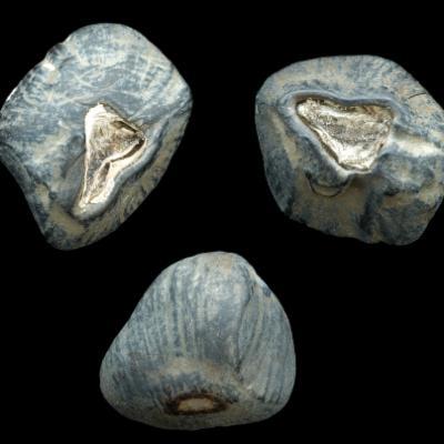 Ensete ventricosum seeds