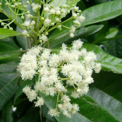 Pimenta dioica (allspice)