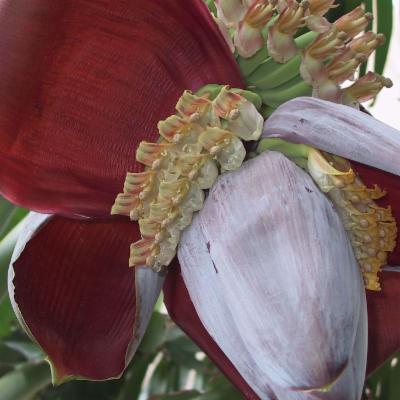 Musa balbisiana (plantain)