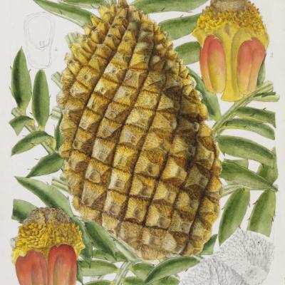 Encephalartos altensteinii illustration
