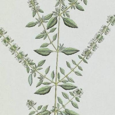 Ocimum tenuiflorum illustration