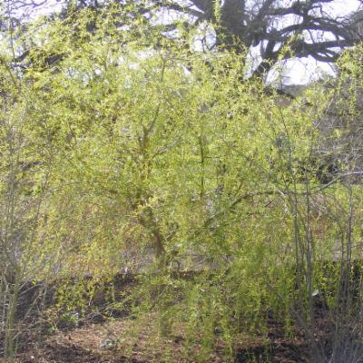 <em>Salix</em> ×  <em>salamonii</em> (golden weeping willow)