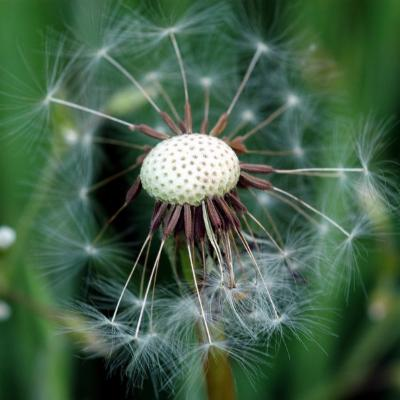 Taraxacum officinale seedless