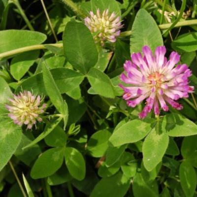 Trifolium pratense flower