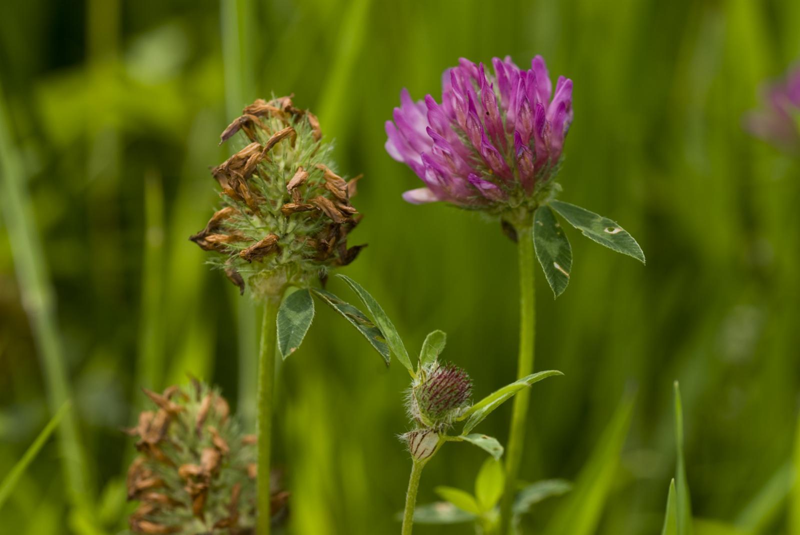 Trifolium pratense L.   Plants of the World Online   Kew