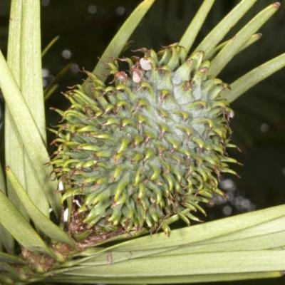 Wollemia nobilis female cone
