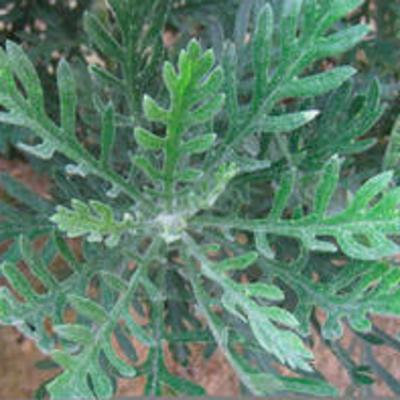 Leaves of Euryops pectinatus
