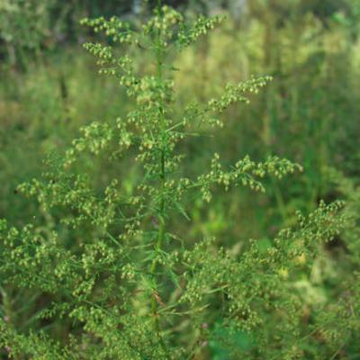 Flowering head of Artemisia annua