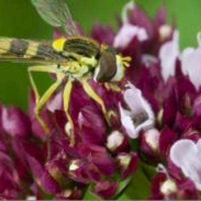 Origanum vulgare with hoverfly