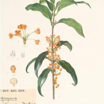 Illustration of Osmanthus fragrant