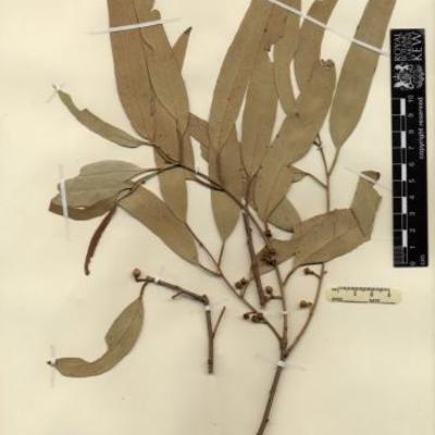 Dried herbarium specimen of Eucalyptus camaldulensis collected in Australia