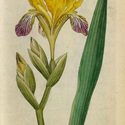 Illustration of Iris variegata