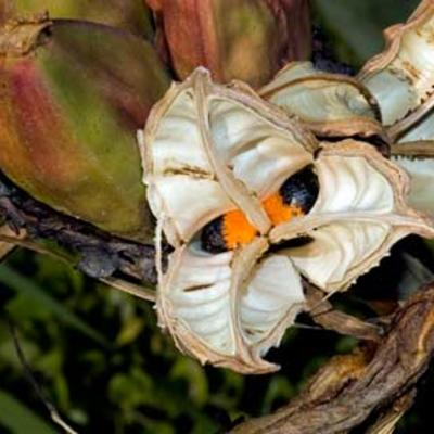 Strelitzia reginae fruit