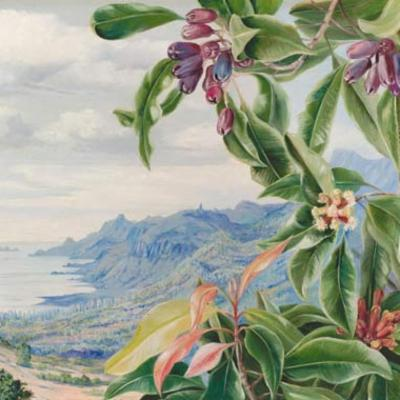 Painting of clove by Marianne North