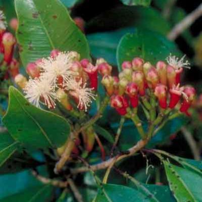 Syzygium aromaticum (clove) flowers