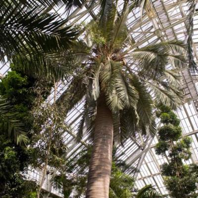 Jubaea chilensis (Chilean wine palm)