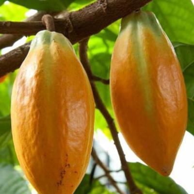 Theobroma cacao (cocoa tree)
