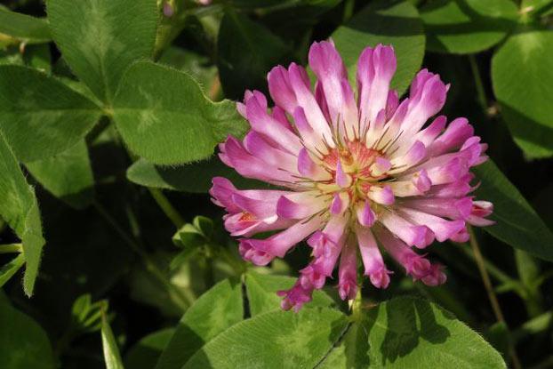 Resultado de imagen de Trifolium pratense