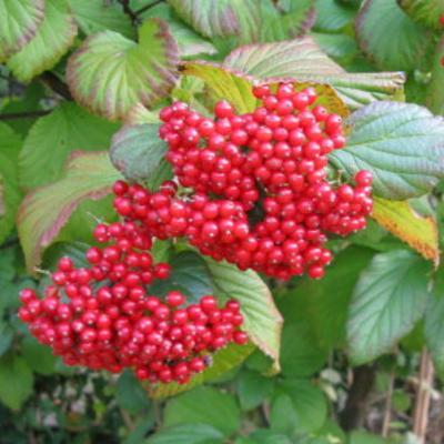 Viburnum dilatatum (linden viburnum)