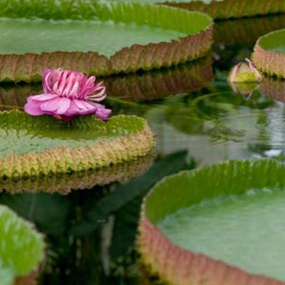 Lotus Flower Plants Floating Flowers Lotus Velda Free