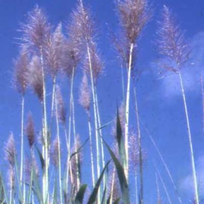 Saccharum officinarum (sugar cane)