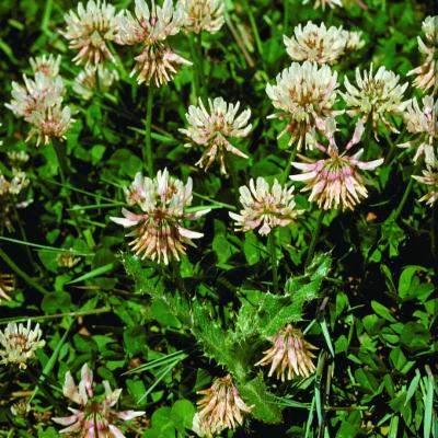 Trifolium B repens L.