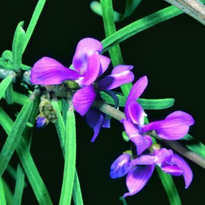 Vaughania depauperata (Drake) Du Puy Labat & Schrire