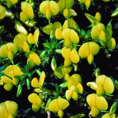 Ononis natrix L.