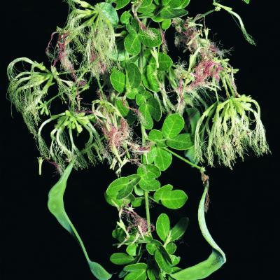 Pithecellobium excelsum (Kunth) Benth.