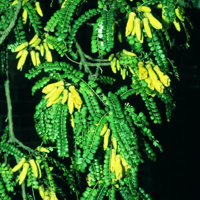Sophora microphylla Aiton