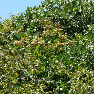 Julbernardia paniculata (Benth.) Troupin