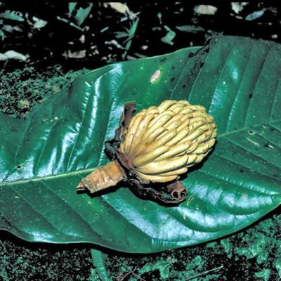 Magnolia gigantifolia (Magnoliaceae)