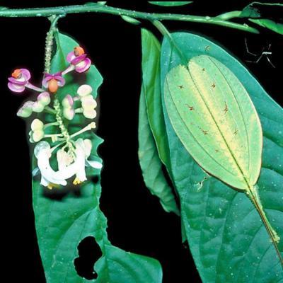 Polygala sp (Polygalaceae)