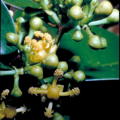 Garcinia sp (Guttiferae)