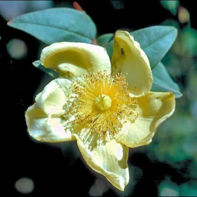 Hypericum laschenaultii (Guttiferae)