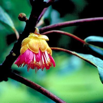 Rhodoleia teysmannii (Rhodoleiaceae)